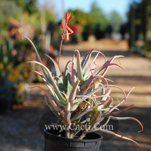 Aloe acutissima variety acutissima