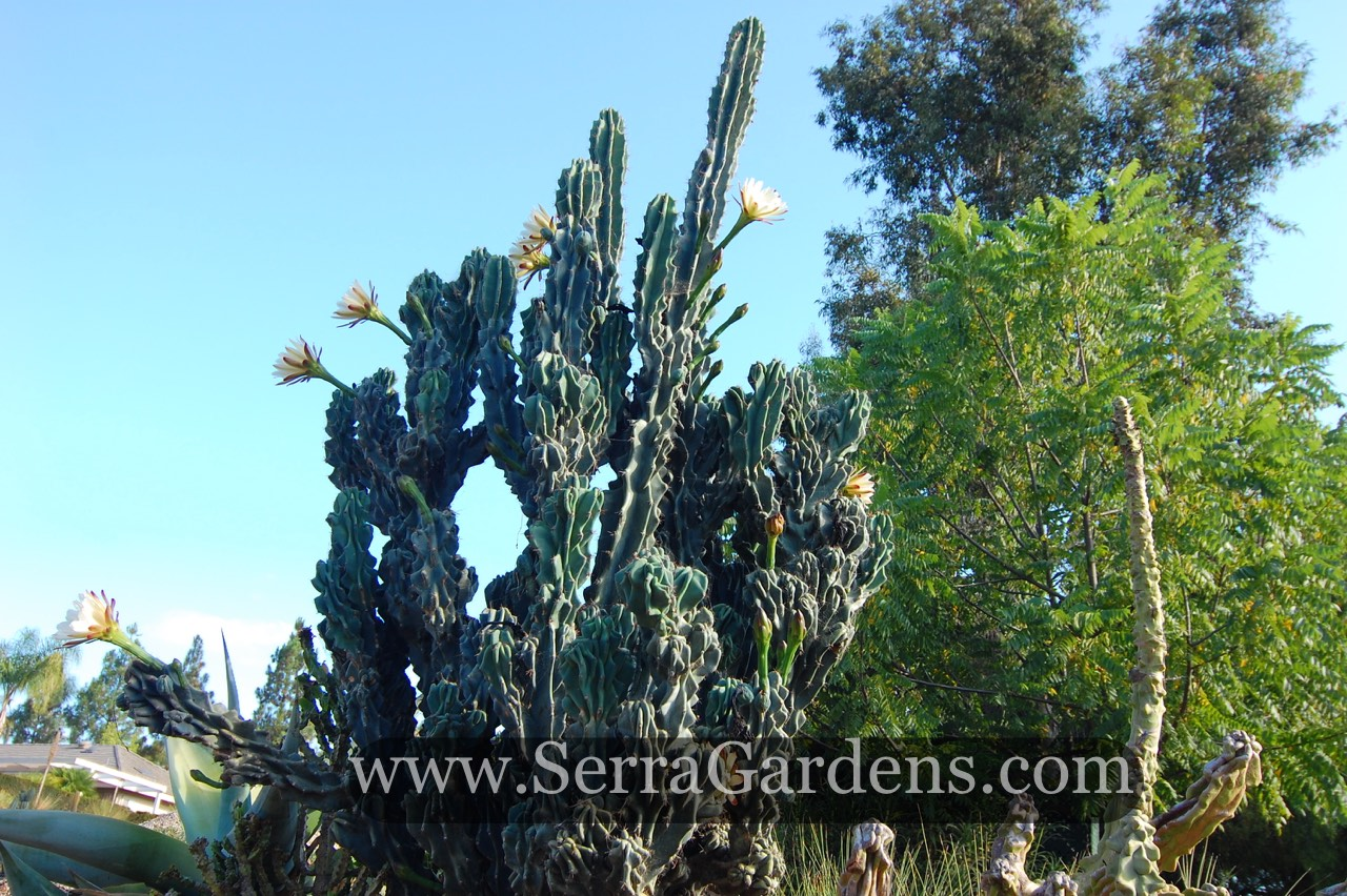 Cereus Peruvianus Monstrose Night Blooming Large 19 T 12W Specimen Rooted You will receive the plant from the pictures Healthy Gorgeous 6W