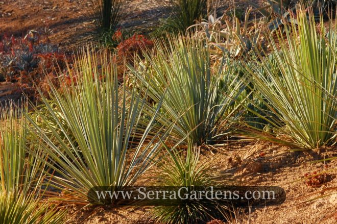 The Sotol grows very well in poor soils.