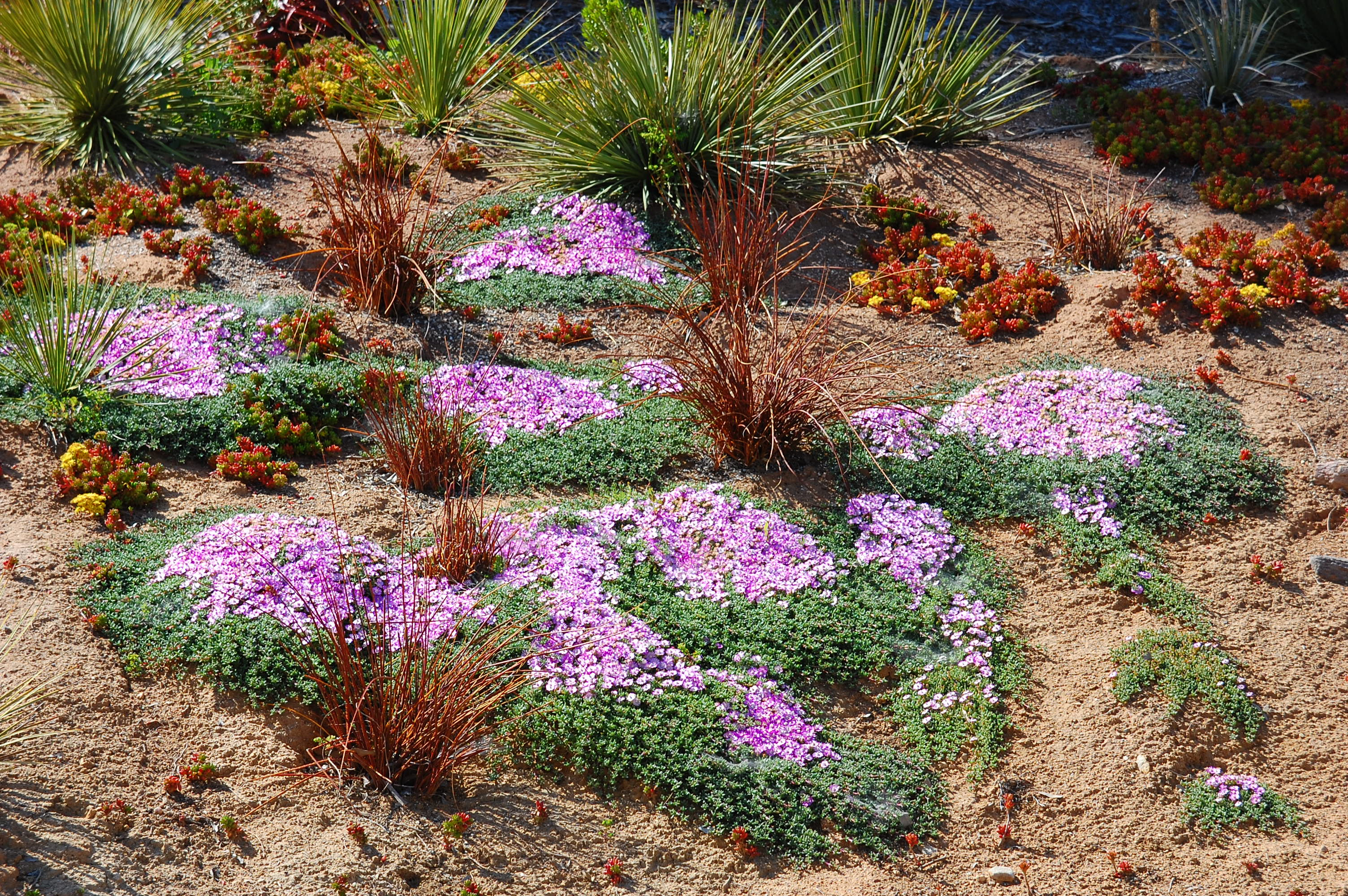 Ruschia Lineolata Ground Cover Cacti Com