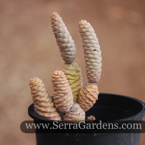 Tephrocactus strobiliformis