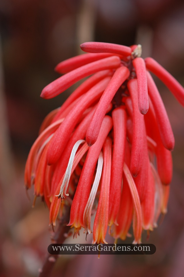 The camronii flower is a striking red.